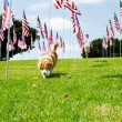Man and his Dog  with American Flags - Stock Photo