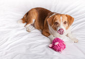 Cute Dog licking her nose — Stock Photo