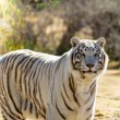 Beautiful white Tiger - Stock Photo