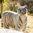 Stock Photo: Beautiful white Tiger
