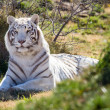 Amazing white tiger in the brush - Stock Photo