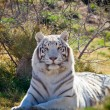Amazing white tiger in the brush — Stock Photo