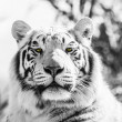 Black and White Majestic Tiger Portrait — Foto de Stock