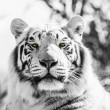 Black and White Majestic Tiger Portrait - Stock Photo