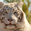 Majestic White Tiger - Stock Photo