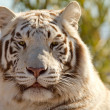 Stock Photo: Majestic White Tiger