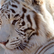 Stock Photo: Profile of Majestic White Tiger