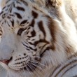 Profile of a Majestic White Tiger - Stock Photo