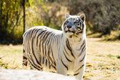 Belo tigre branco — Foto Stock