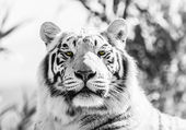 Black and White Majestic Tiger Portrait — Stock Photo