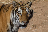 Tiger in a dry environment — Stock Photo