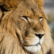 Lion close up — Stock Photo #19669749