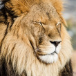 Lion close up — Stock Photo #19669897