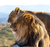 Lion King of the wild — Stock Photo