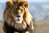 Lion King of the wild — Stockfoto