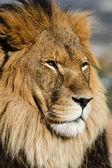 Lion close up — Stock Photo