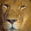 Lion close up — Stock Photo #19670183