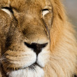 Stock Photo: Lion close up