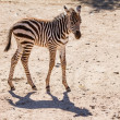 Baby Zebra - Foto Stock