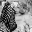 Zebra from behind — Stock Photo