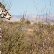 Giraffe in Nature — Stock Photo