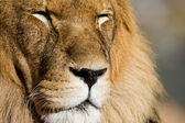 Lion close up — Stock Photo