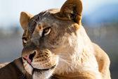Beautiful Lioness — Stock Photo