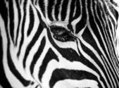 Zebra with a reflection in it's eye — Stock Photo