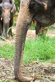 Beautiful Female Elephant in Thailand — Stock Photo