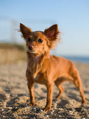 Photo beautiful red-haired little dog on nature, evening light — Stock Photo