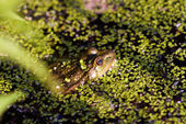 Gross frog on nature in green marsh, closeup, horizontal photo — Stock Photo