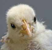 Head chick — Stock Photo