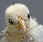 Head chick — Stock Photo
