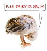 Little chick — Stock Photo