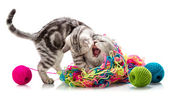 Little  kitten tussle with  adult cat — Stock Photo
