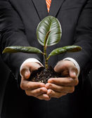 Hands with  scion  rubber plant — Stock Photo