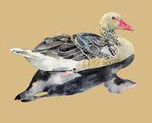 Hand draw watercolor bird, duck — Stock Vector