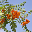 Fruits of mountain ash on a background of blue sky — Stock Photo