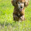 Young cocker spaniel on a green lawn — Stock Photo