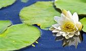 Lilienblume auf dem Hintergrund von Seewasser — Stockfoto