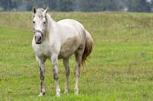 Gray horse in a pasture — Stock Photo