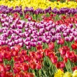 Glade of spring tulips — Stock Photo #18917471