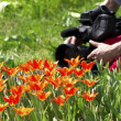 TV operators for the shooting of tulips — Stock Photo