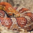 Stock Photo: Snake basking in sun after winter.