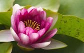 PInk Lotus Flower — Stock Photo