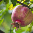 Ripe pomegranate on the branch — Stock Photo