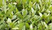 Laurel bush hedge growing in a spring garden — Stock Photo