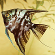 Fish pterophyllum scalare — Stock Photo