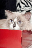 Beige cat lying in the red box — Stock Photo
