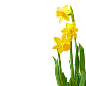 Spring flowers narcissus isolated on white background. — Stock Photo